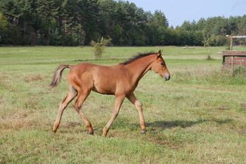 Nicopensius Kassari hobune