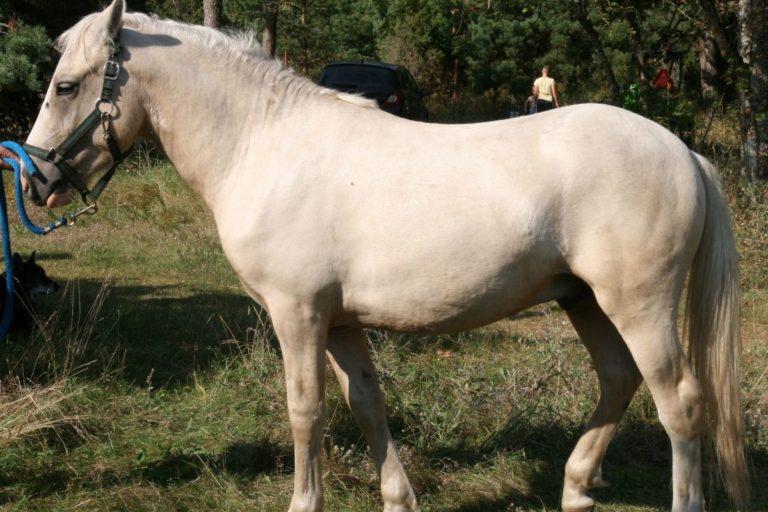 Amerigo kassari hobune