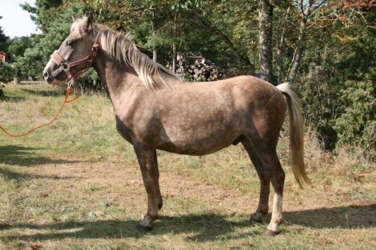 Russow Kassari hobune